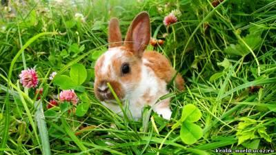 продам шубу из шиншиллового кролика (рекс.