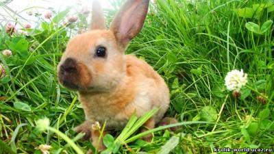 Предыдущая. куплю жилет кролик рекс под шиншиллу.