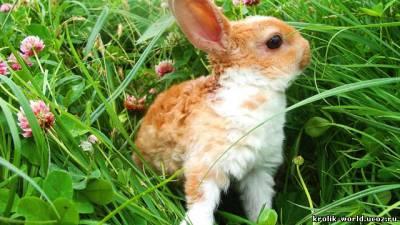 Куплю кролика.