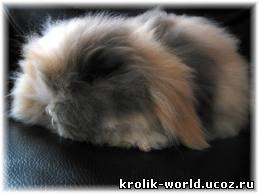 вислоухие кролики